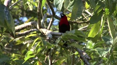 Masked Crimson Tanager sits in tree and fly away filmed from boat 1 Stock Footage