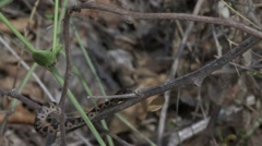 Northern Cat-eyed Snake move in bush 4 Stock Footage