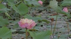 Lotus flower in lake,Ubon Ratchathani,Thailand Stock Footage
