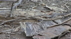 Northern Cat-eyed Snake move on ground 2 Stock Footage