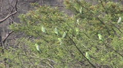 Pacific Parrotle flock perched in tree 1 Stock Footage