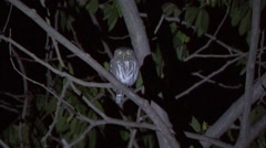 Peruvian Pygmy Owl perched on branch in the night 1 Stock Footage