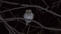 Peruvian Pygmy Owl perched on branch in the night 2 Stock Footage