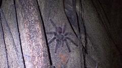 Pink-toed tarantula move in the night on tree 1 - stock footage