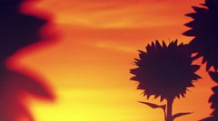 Sunflowers in sunset Stock Footage