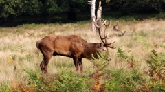 Red Deer Stag Grazing - stock footage