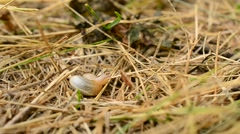Stock Video Footage of Snail comes out of coiled shell and crawls away on straw