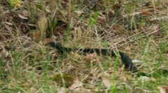 Black Viper (Vipera Berus) Poisonous Snake in a Grass Stock Footage