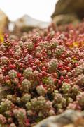 Plant species of Sedum - stock photo