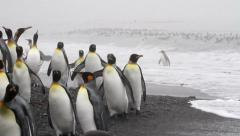 KIng penguins on the shore Stock Footage
