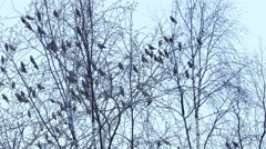 Bohemian Waxwing (Bombycilla Garrulus) Birds Sitting on Birch Tree in Winter Day Stock Footage