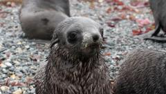 Southern fur seals - stock footage