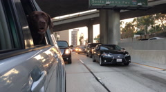 Chocolate Labrador on the 110 freeway in Los Angeles Stock Footage
