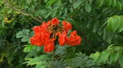 African tulip tree Stock Footage