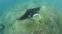 Manta Ray Swimming Over Cleaning Station Stock Footage