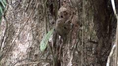Pygmy Marmoset looking around 1 Stock Footage
