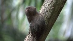 Pygmy Marmoset looking around 12 Stock Footage
