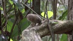 Pygmy Marmoset looking around 11 Stock Footage