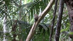 Pygmy Marmoset looking around 3 Stock Footage