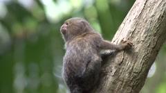 Pygmy Marmoset looking around 7 Stock Footage