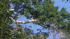 Red Howler Monkey male move in tree filmed from boat 1 Stock Footage