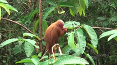 Red Uakari feed in tree Stock Footage