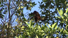 Red Howler Monkey with baby move in tree Stock Footage