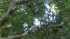 Saddleback Tamarin family move in tree 1 Stock Footage