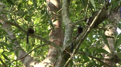 Saddleback Tamarin family move in tree 3 Stock Footage