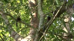 Saddleback Tamarin family move in tree 3 - stock footage