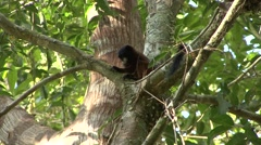 Saddleback Tamarin family move in tree 2 Stock Footage