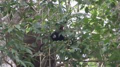 Saddleback Tamarin feeding on fruit 1 - stock footage