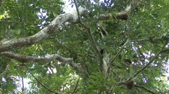 Saddleback Tamarin female with baby on back move in tree 1 - stock footage