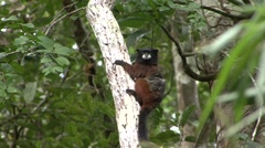 Saddleback Tamarin hanging on tree trunk an looking around 2 Stock Footage