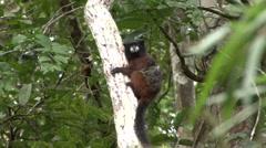 Saddleback Tamarin hanging on tree trunk an looking around 1 Stock Footage