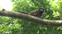 Saddleback Tamarin sitting in tree looking around 1 Stock Footage