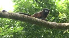 Saddleback Tamarin sitting in tree looking around 1 - stock footage
