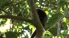 Saddleback Tamarin sitting in tree looking around 4 Stock Footage
