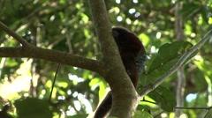 Saddleback Tamarin sitting in tree looking around 4 - stock footage