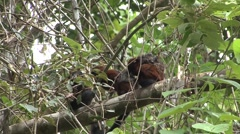 Saddleback Tamarins grooming sitting in tree filmed from boat 1 Stock Footage