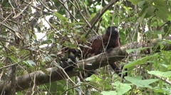 Saddleback Tamarins grooming sitting in tree filmed from boat 2 Stock Footage