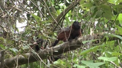 Saddleback Tamarins sitting in tree filmed from boat - stock footage