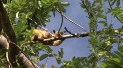Southern Tamandua move in tree filmed from boat 1 Stock Footage