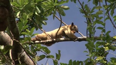 Southern Tamandua rest in tree filmed from boat 2 Stock Footage