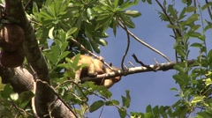 Southern Tamandua rest in tree filmed from boat 1 Stock Footage