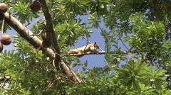Southern Tamandua rest in tree filmed from boat 3 Stock Footage