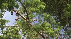 Southern Tamandua rest in tree filmed from boat 4 Stock Footage