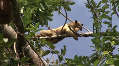 Southern Tamandua rest in tree filmed from boat 6 Stock Footage