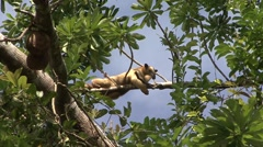 Southern Tamandua rest in tree filmed from boat 7 Stock Footage