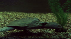 Chinese softshell turtle - stock footage